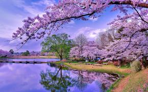 公园, vodoym, 樱桃, 开花, 树, 景观