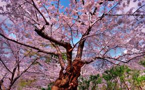 樱桃, 树, 花卉, 性质