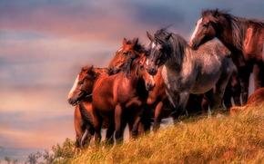 caballo, Caballos, manada