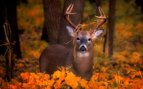 ciervo, ver, otoño