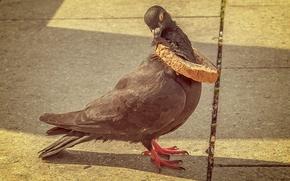 pigeon, bird, bread crust, situation