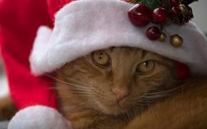 gato, COTE, Vermelho, focinho, ver, boné