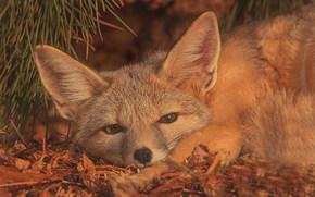 American fox, fox, muzzle, ears, view