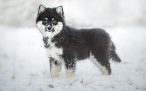 Fiński Lapphund, Fiński Laika Loparskaya, pies, szczeniak, zima