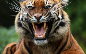 tiger, wildcat, predator, Snout, grin, jaws, canines