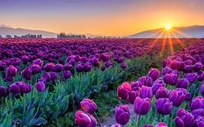 закат, поле, тюльпаны, цветы, флора