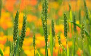 campo, spighe di grano, Macro