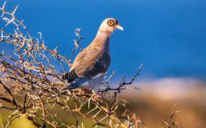pigeon, on a branch, bird