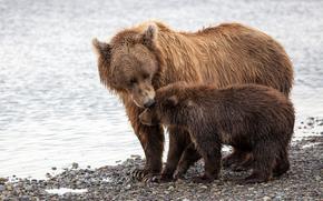 Katmai National Park, Alaska, Orsi