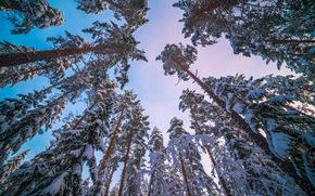 зима, ели, деревья, верхушки, кроны, природа, пейзаж