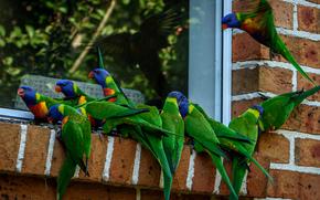 Multi Lorikeet, Lorikeet, parrot, bird