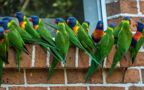 Multi Loriquet, Loriquet, perroquet, oiseau