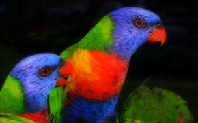 Multi Lorichetto, Lorikeet, pappagallo, uccello