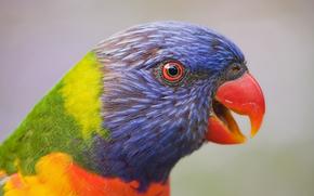 Многоцветный лорикет, лорикет, попугай, птица