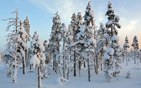 Finland, Lapland, Sallatunturin Tuvat, winter, snow, trees, landscape