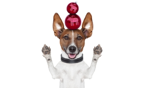 dog, New Year, Balls, Christmas decorations, collar, feet, ears, up, white background, holiday, humor, animals