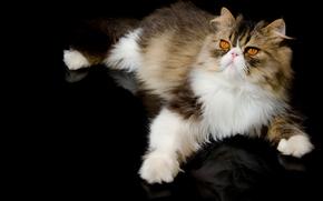 Persian cat, COTE, Persian, Foot