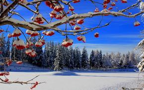 inverno, nevicata, alberi, foresta, Rowan, paesaggio
