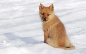 Finnish Spitz, dog, puppy, winter, snow