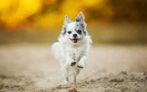 Chihuahua, cane bastardo, Tour, stato d'animo