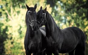 лошадь, конь, парочка, любовь