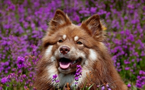 Finnish Lapphund, dog, Snout, Flowers