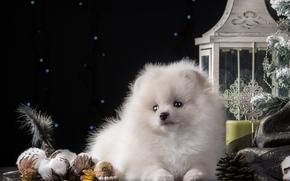 Año Nuevo, perro de Pomerania, perro, golpear