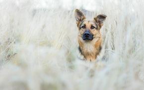 pastor, perro, Hocico, ver, prado