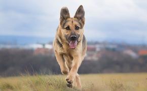pastor, perro, gira