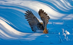 Grey Owl, owl, bird, wings, winter, snow