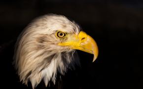 Águia, pássaro, predador