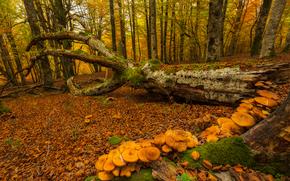 foresta, alberi, autunno, albero caduto, funghi