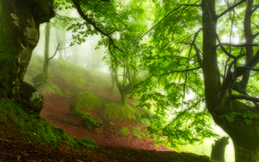 forest, trees, fog, nature