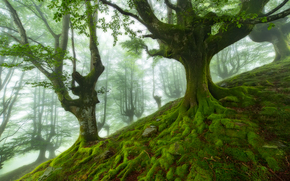 forest, trees, moss, fog, nature