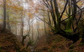 outono, floresta, árvores, nevoeiro, natureza