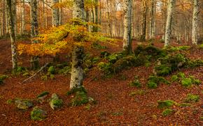 outono, floresta, árvores, natureza