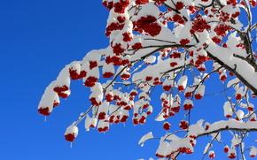 albero, Rowan, BERRY, nevicata, natura