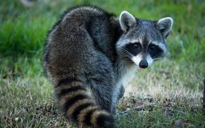 raccoon, animal, view