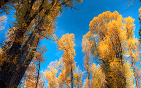 Or trembles, Tetons, Wyoming, automne, arbres, couronne, nature