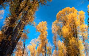 Golden Aspens, Grand Tetons, Wyoming, осень, деревья, кроны, природа
