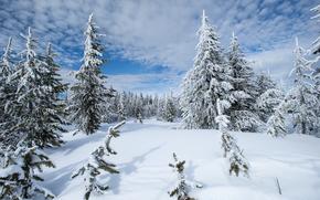 蒙大拿, 西黄石, 冬天, 雪, 漂移, 树, 景观