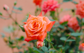 kwiat, róża, listowie, BUD, flora