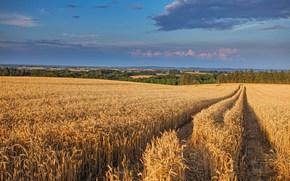 campo, spighe di grano, paesaggio