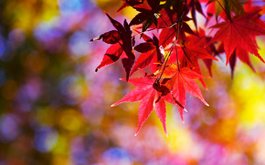 branch, foliage, Japanese Maple