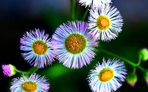 Philadelphia, Flowers, flora, Macro
