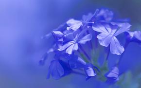 голубые цветы, флора, макро