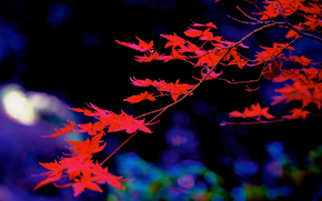 branch, foliage, Macro, Japanese Maple