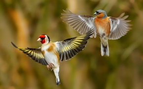 goldfinch, finch, birds, wings