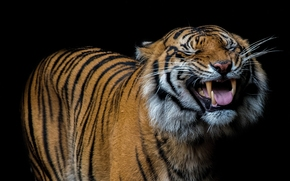 tiger, smile, canines, language, black background