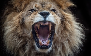 lion, king of beasts, Snout, GRIVA, jaws, canines